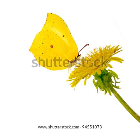 yellow bright dandelion and butterfly on white background