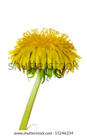 yellow bright dandelion on white background