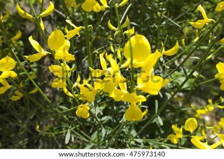 Yellow broom flower ez canvas yellow broom flower mightylinksfo