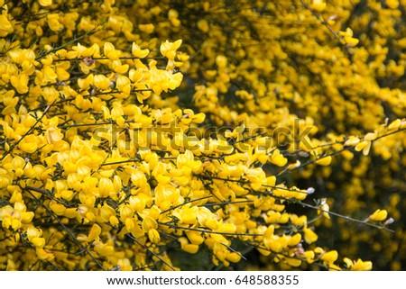 Yellow broom flowers closeup ez canvas yellow broom flowers closeup mightylinksfo