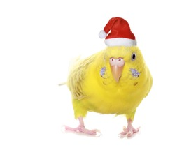 Yellow budgie isolated on white background