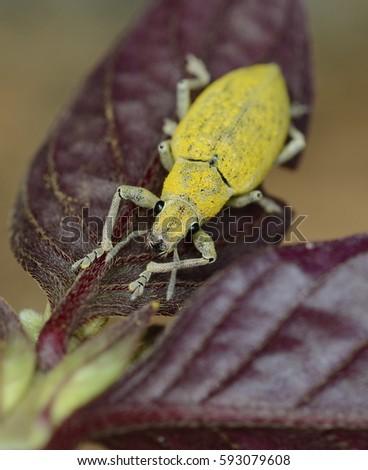 Yellow Bug #593079608