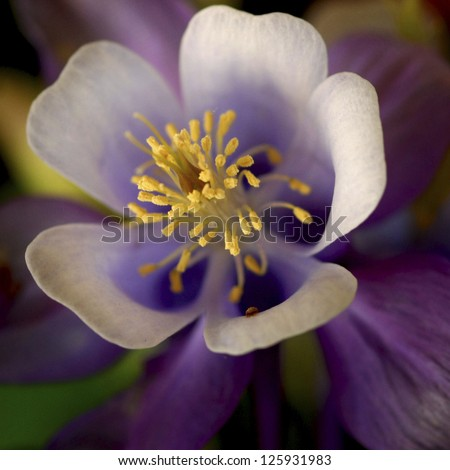 Yellow bursting out from a purple Columbine flower
