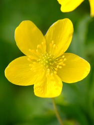 yellow buttercup flower the spring (Potentilla recta)