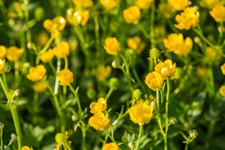 Yellow buttercup flowers in spring on the green natural background. Selective focus.