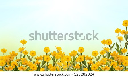 yellow buttercup flowers on light background