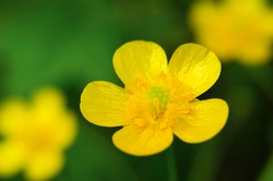 Yellow buttercup in the meadow closeup. Defocused. Flowers. Green and yellow.