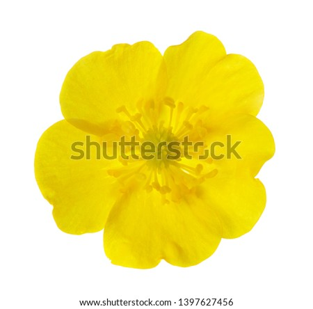 Yellow  Buttercup isolated on white background.  #1397627456