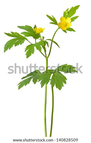 Yellow buttercup (Ranunculus repens) flowers isolated on white background #140828509