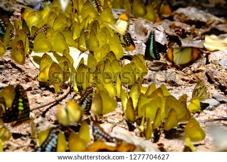 Yellow butterflies are grouped together.