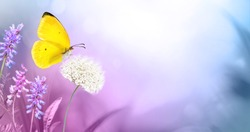 Yellow  butterfly close-up macro on wild meadow fluffy flower in spring summer on  beautiful soft blurred blue pink violet background. Gentle artistic image of nature, copy space.