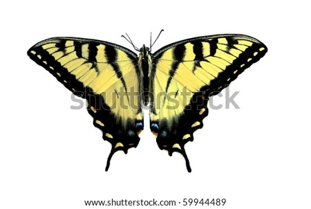 Yellow butterfly (Eastern Tiger Swallowtail) isolated on white, Philadelphia, USA