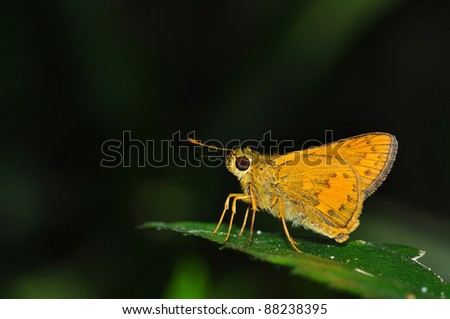 yellow butterfly from Thailand background
