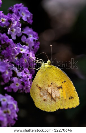 Yellow Butterfly on a purple flower
