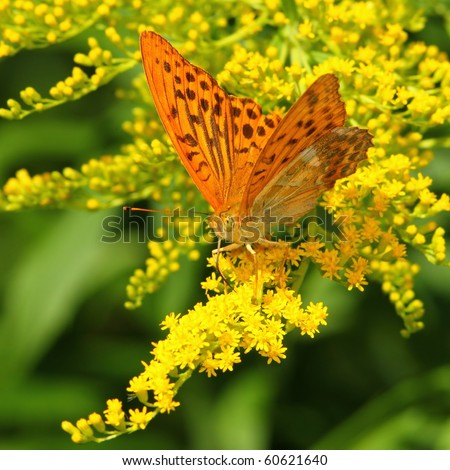 Yellow butterfly on a yellow flower (Silver-Washed fritillary)