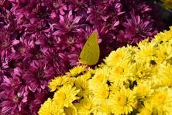 Yellow Butterfly on Flowers Purple and yellow