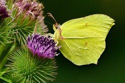 yellow butterfly, the common brimstone on the flower of great burdock.