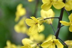 Yellow cabbage flower (Brassica oleracea). Flowering in the garden during the spring. Munilla, La Rioja, Spain.