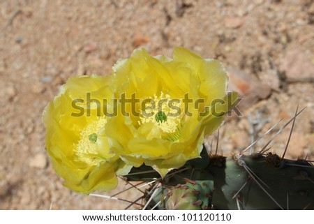 Yellow Cactus Flowers in Arizona Desert