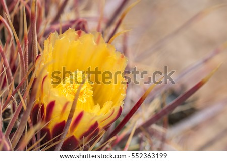 Yellow cactus flowers in desert.