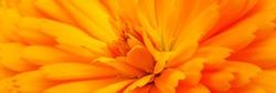 Yellow calendula flower, close up macro banner. Calendula orange Flower, closeup macro. Medicinal Calendula herb. Blooming marigold flowering petals.