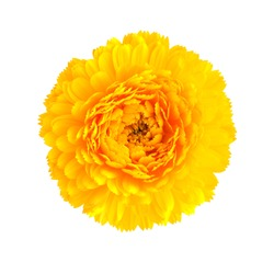 yellow  calendula flower isolated on white background