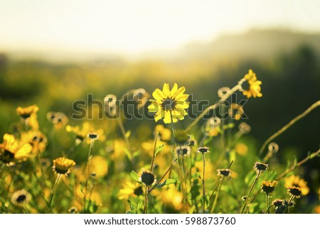 Yellow California wildflowers.