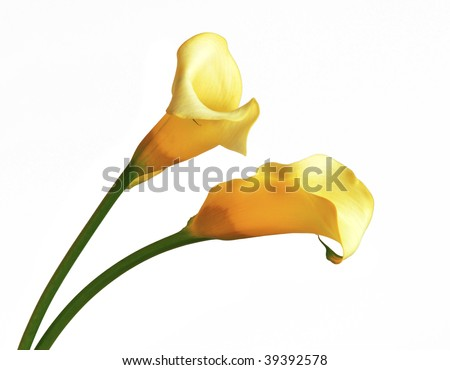 Yellow calla isolated on white background