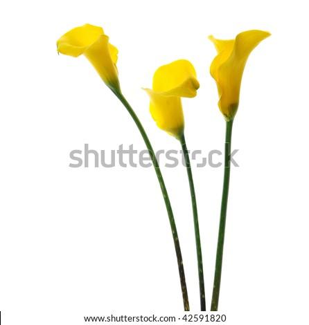 yellow callas