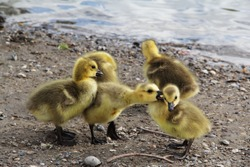 Yellow callow duck babies playing on a beach with each other