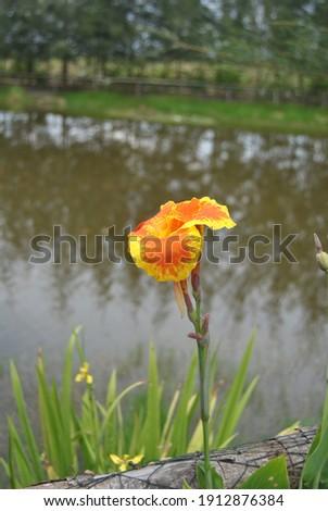 Yellow Cana Flower from Banka Island Indonesia Stok fotoğraf ©