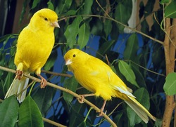 Yellow Canaries, serinus canaria  standing on Branch
