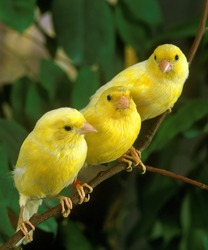 Yellow Canaries, serinus canaria, standing on Branch