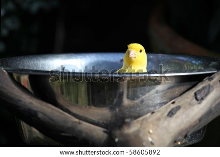 Yellow canary bird in bowl