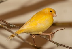 yellow canary bird on twig with spark in eye
