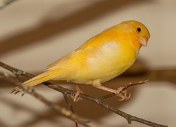 yellow canary bird on twig with star in eye