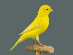 Yellow canary bird perched in a softbox