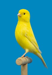 Yellow canary in perched softbox