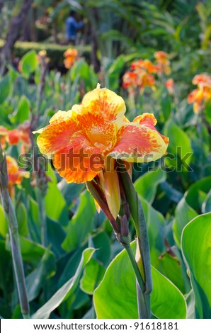 yellow canna flowers
