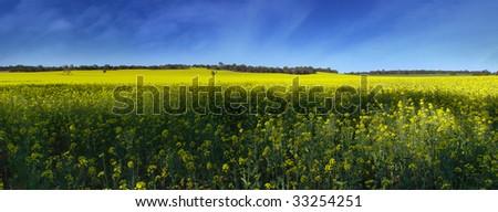 Yellow canola field against beautiful blue sky - stock photo