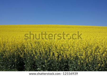 yellow canola field on a sunny day in mid spring