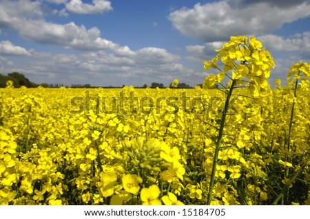 Yellow canola field with clouds in sky