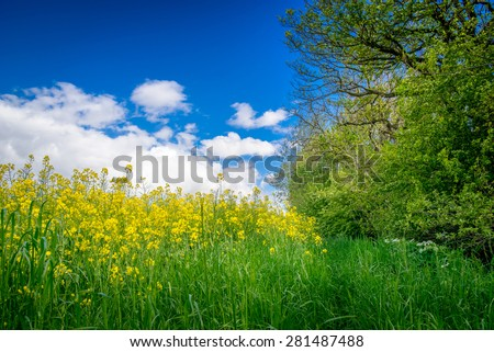 Yellow canola flowers on a green meadow