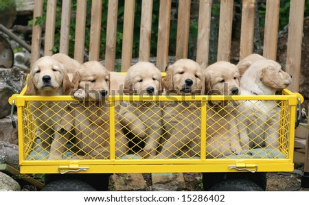 yellow cart filled with adorable golden retriever puppies