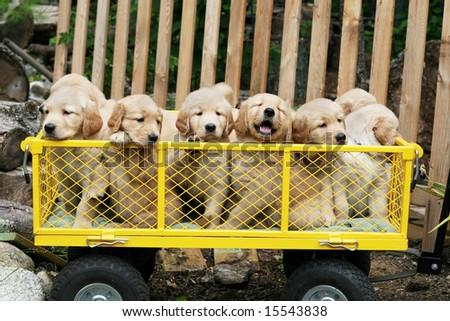 golden retriever puppies in the snow. golden retriever puppies
