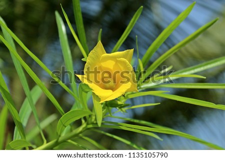 Free photos yellow oleander or thevetia peruviana avopix yellow cascabela thevetia flowerwith leafsthevetia peruviana is poisonous plant cultivated as an ornamental mightylinksfo
