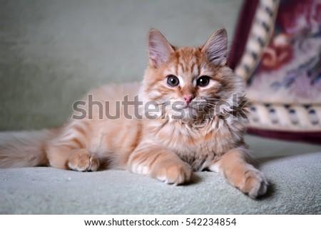 Yellow cat kitten lying on the sofa #542234854