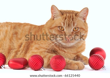 Yellow Cat with Red Christmas Bals