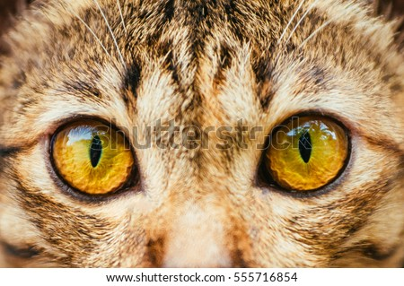 Stock Photo Yellow Cats eyes: Close up of a tabby cats eyes,Closeup of Hypnotic Cat Eyes