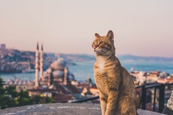Yellow cats of Istanbul from the top of the grand valide khan. Behind the cat you can see the golden horn and mosque view of Istanbul, Turkey